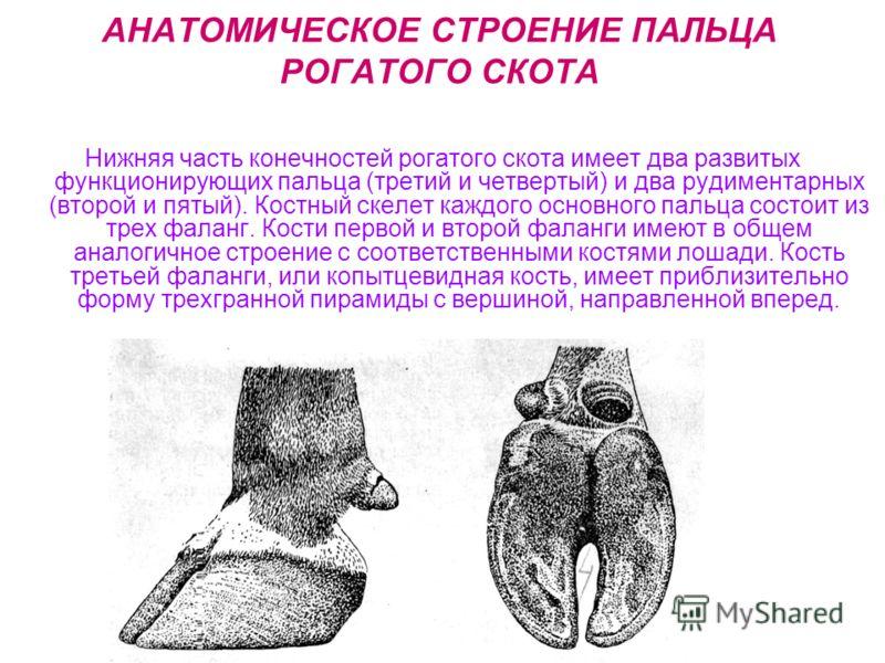 АНАТОМИЧЕСКОЕ СТРОЕНИЕ ПАЛЬЦА РОГАТОГО СКОТА Нижняя часть конечностей рогатого скота имеет два развитых функционирующих пальца (третий и четвертый) и два рудиментарных (второй и пятый). Костный скелет каждого основного пальца состоит из трех фаланг.