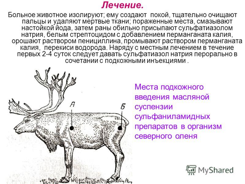 Лечение. Больное животное изолируют; ему создают покой, тщательно очищают пальцы и удаляют мертвые ткани; пораженные места, смазывают настойкой йода, затем раны обильно присыпают сульфатиазолом натрия, белым стрептоцидом с добавлением перманганата ка