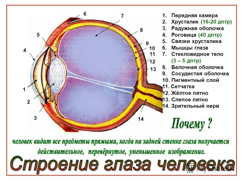 1 2 3 4 5 6 7 8 9 10 11 12 13 14 1.Передняя камера 2.Хрусталик (16-20 дптр) 3.Радужная оболочка 4.Роговица (40 дптр) 5.Связки хрусталика 6.Мышцы глаза 7.Стекловидное тело (3 – 5 дптр) 8. Белочная оболочка 9. Сосудистая оболочка 10. Пигментный слой 11