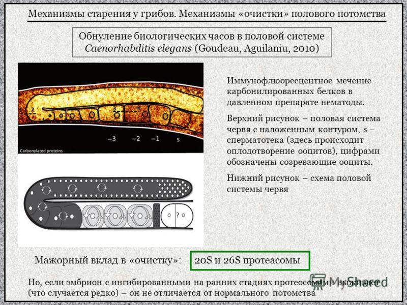 Механизмы старения у грибов. Механизмы «очистки» полового потомства Обнуление биологических часов в половой системе Caenorhabditis elegans (Goudeau, Aguilaniu, 2010) Иммунофлюоресцентное мечение карбонилированных белков в давленном препарате нематоды