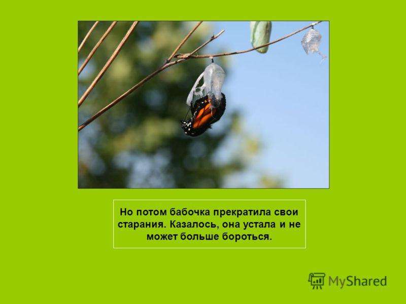 Однажды в коконе появилась маленькая дырочка. Один человек присел рядом и многие часы наблюдал, как борется бабочка, пытаясь выбраться наружу.