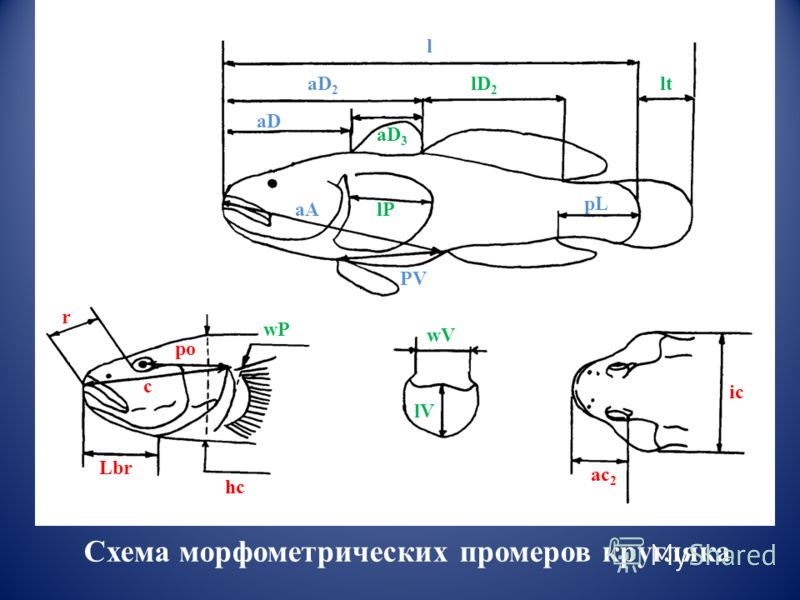 aA PV pL l aD aD 2 r po Lbr hc ic ac 2 c lP aD 3 lD 2 lt wP wV lV Схема морфометрических промеров кругляка