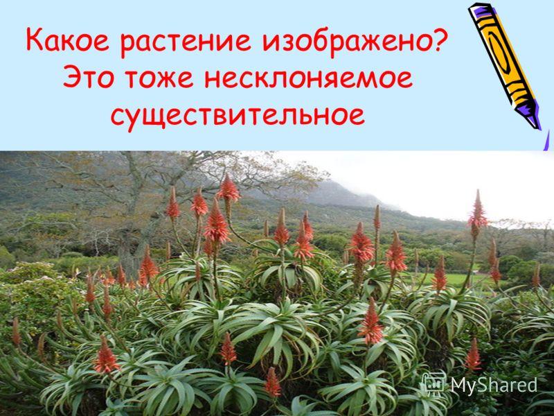 Какое растение изображено? Это тоже несклоняемое существительное