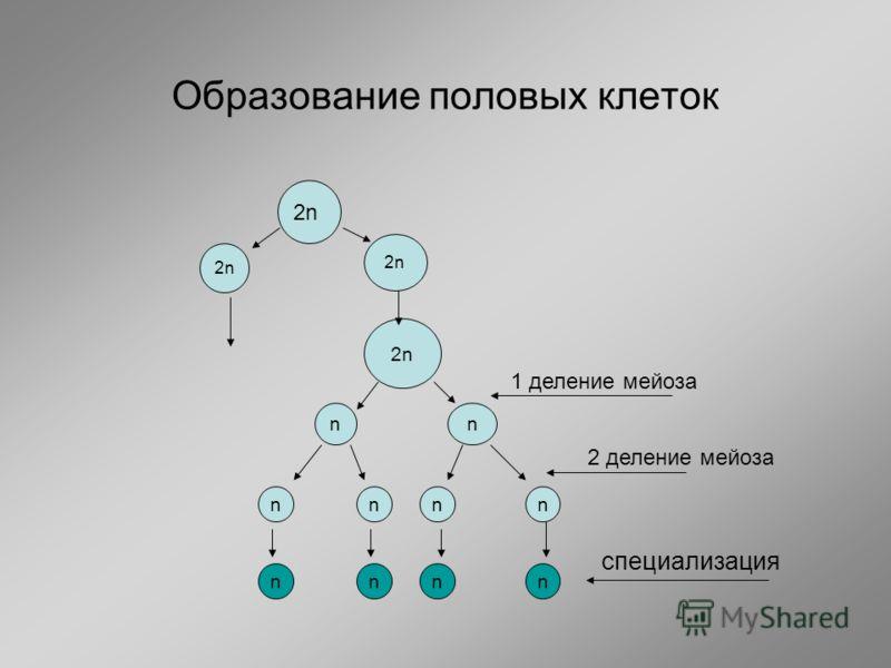 Образование половых клеток 2n nn nnnn nnnn 2 деление мейоза 1 деление мейоза 2n специализация