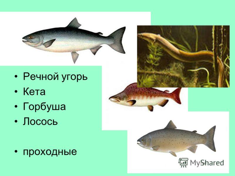 Тур 5, в-7 Где обитают эти рыбы? Какое общее название они имеют? Речной угорь Кета Горбуша Лосось проходные