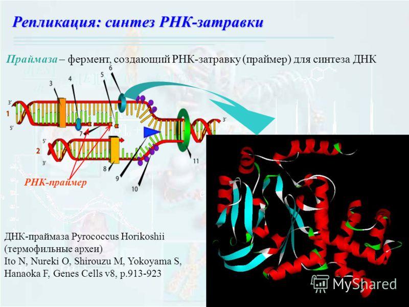 Праймаза – фермент, создающий РНК-затравку (праймер) для синтеза ДНК ДНК-праймаза Pyrococcus Horikoshii (термофильные археи) Ito N, Nureki O, Shirouzu M, Yokoyama S, Hanaoka F, Genes Cells v8, p.913-923 Репликация: синтез РНК-затравки РНК-праймер