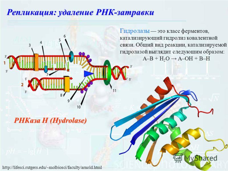 РНКаза Н (Hydrolase) Гидролазы это класс ферментов, катализирующий гидролиз ковалентной связи. Общий вид реакции, катализируемой гидролазой выглядит следующим образом: A–B + H 2 O A–OH + B–H http://lifesci.rutgers.edu/~molbiosci/faculty/arnold.html Р
