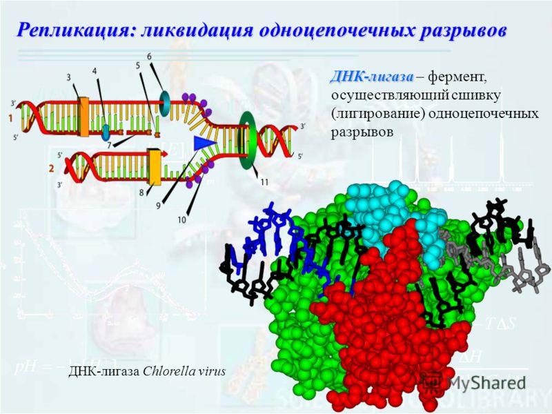 ДНК-лигаза ДНК-лигаза – фермент, осуществляющий сшивку (лигирование) одноцепочечных разрывов ДНК-лигаза Chlorella virus Репликация: ликвидация одноцепочечных разрывов