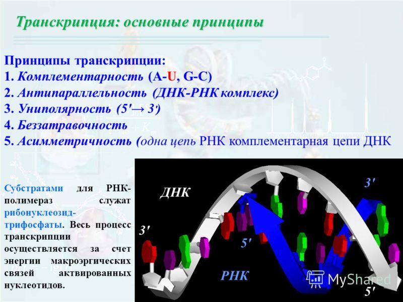 Принципы транскрипции: 1. Комплементарность (A-U, G-C) 2. Антипараллельность (ДНК-РНК комплекс) 3. Униполярность (5' 3 ' ) 4. Беззатравочность 5. Асимметричность (одна цепь РНК комплементарная цепи ДНК РНК ДНК 3'3' 5'5' 5'5' 3'3' Транскрипция: основн