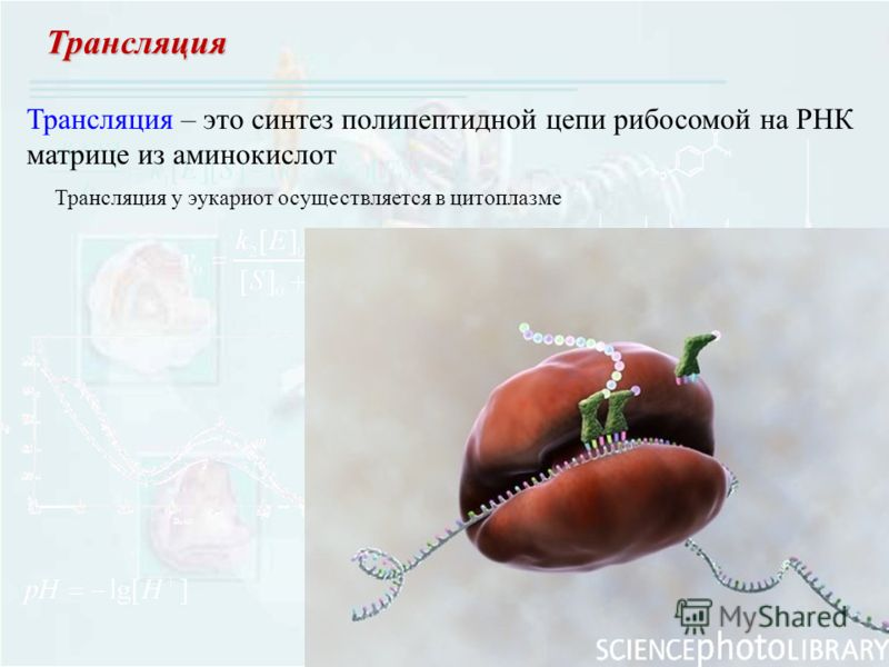 Трансляция Трансляция – это синтез полипептидной цепи рибосомой на РНК матрице из аминокислот Трансляция у эукариот осуществляется в цитоплазме