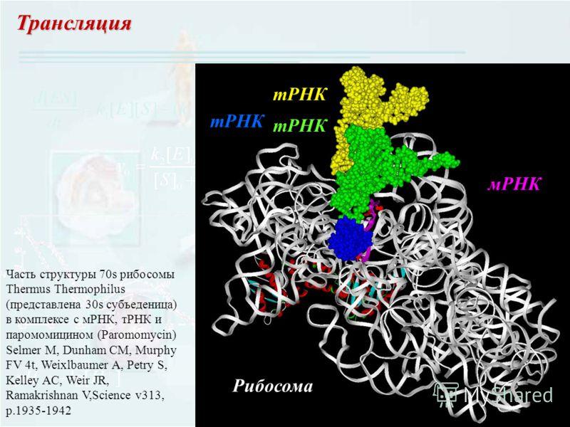 Трансляция тРНК мРНК Рибосома Часть структуры 70s рибосомы Thermus Thermophilus (представлена 30s субъеденица) в комплексе с мРНК, тРНК и паромомицином (Paromomycin) Selmer M, Dunham CM, Murphy FV 4t, Weixlbaumer A, Petry S, Kelley AC, Weir JR, Ramak