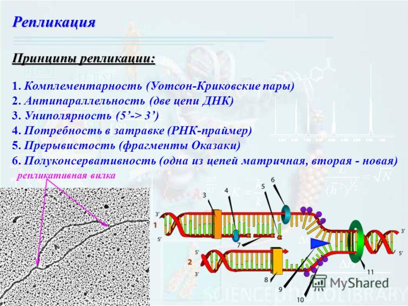 Репликация Принципы репликации: 1. Комплементарность (Уотсон-Криковские пары) 2. Антипараллельность (две цепи ДНК) 3. Униполярность (5-> 3) 4. Потребность в затравке (РНК-праймер) 5. Прерывистость (фрагменты Оказаки) 6. Полуконсервативность (одна из