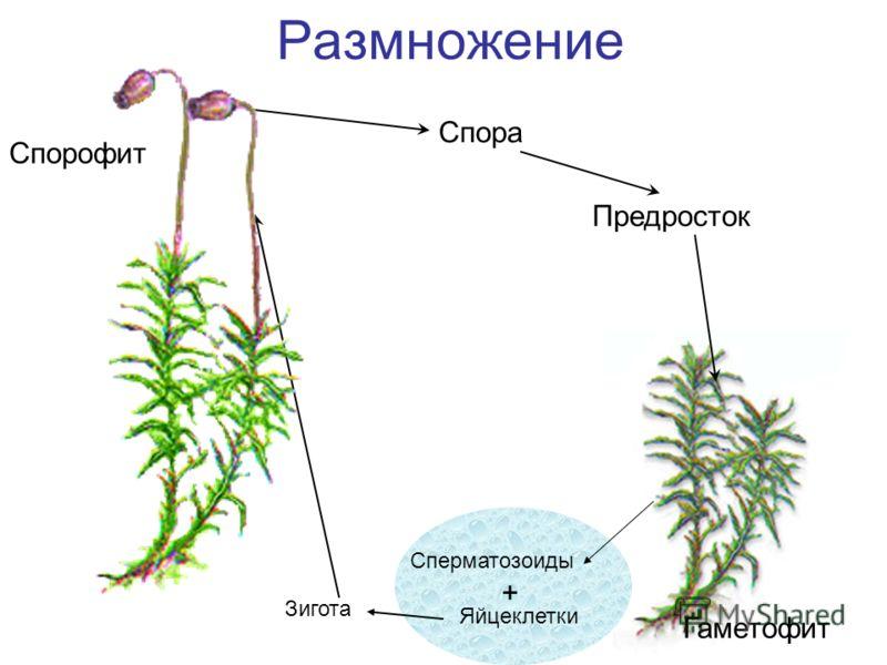 Размножение Спора Предросток Спорофит Гаметофит Сперматозоиды Яйцеклетки + Зигота