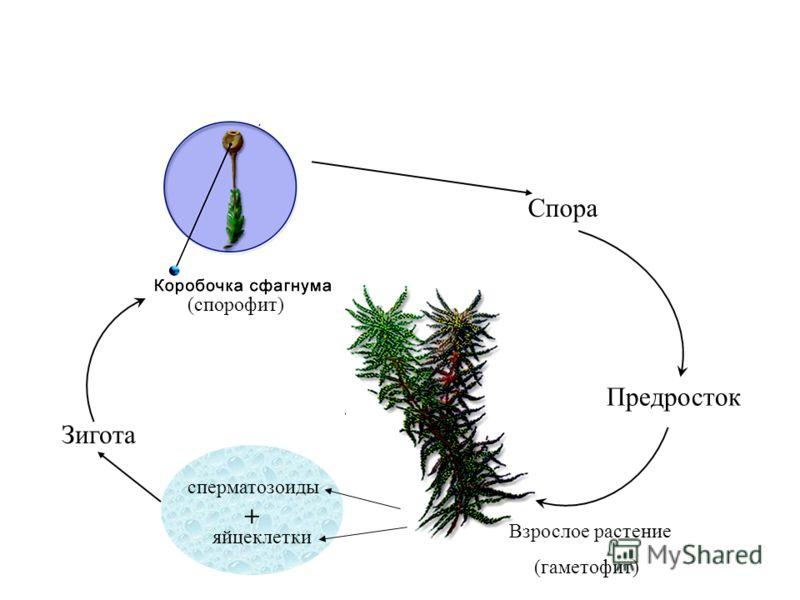 (спорофит) Спора Предросток Взрослое растение (гаметофит) сперматозоиды яйцеклетки + Зигота