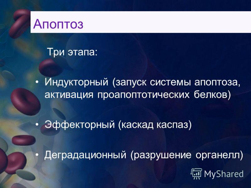 Три этапа: Индукторный (запуск системы апоптоза, активация проапоптотических белков) Эффекторный (каскад каспаз) Деградационный (разрушение органелл) Апоптоз