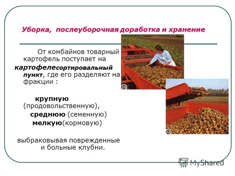 От комбайнов товарный картофель поступает на сортировальный пункт картофеле сортировальный пункт, где его разделяют на фракции : крупную (продовольственную), среднюю (семенную) мелкую(кормовую) выбраковывая поврежденные и больные клубни. Уборка, посл