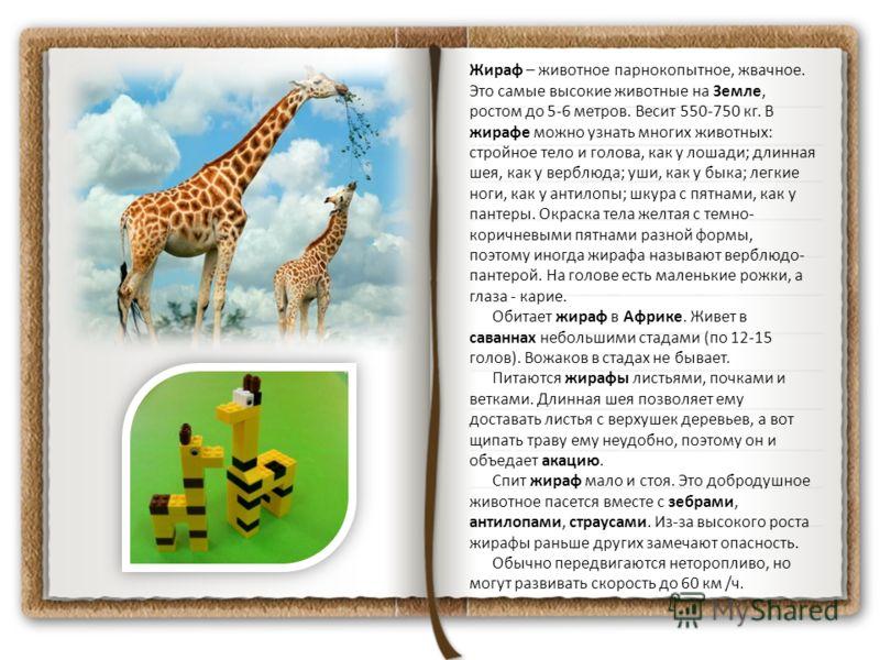 Жираф – животное парнокопытное, жвачное. Это самые высокие животные на Земле, ростом до 5-6 метров. Весит 550-750 кг. В жирафе можно узнать многих животных: стройное тело и голова, как у лошади; длинная шея, как у верблюда; уши, как у быка; легкие но