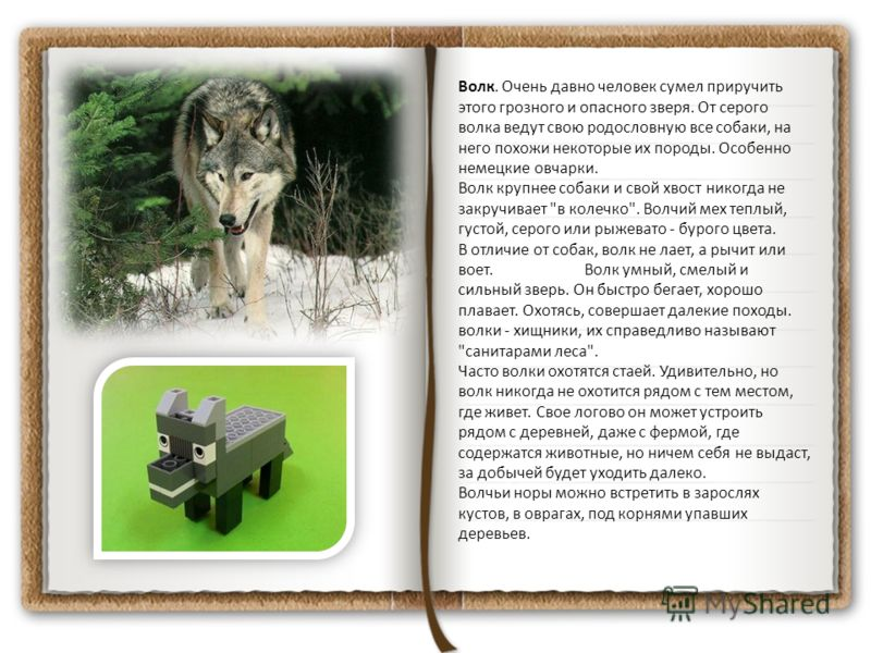 Волк. Очень давно человек сумел приручить этого грозного и опасного зверя. От серого волка ведут свою родословную все собаки, на него похожи некоторые их породы. Особенно немецкие овчарки. Волк крупнее собаки и свой хвост никогда не закручивает