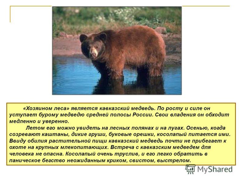«Хозяином леса» является кавказский медведь. По росту и силе он уступает бурому медведю средней полосы России. Свои владения он обходит медленно и уверенно. Летом его можно увидеть на лесных полянах и на лугах. Осенью, когда созревают каштаны, дикие