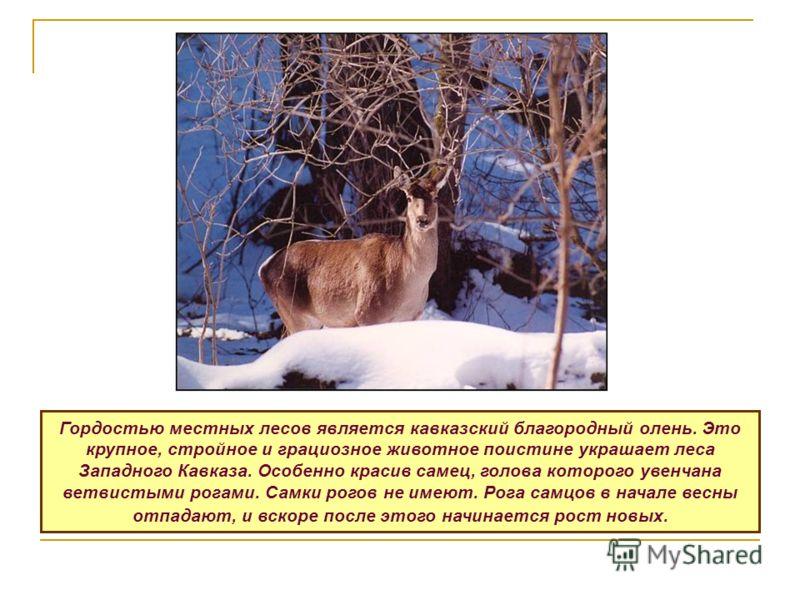 Гордостью местных лесов является кавказский благородный олень. Это крупное, стройное и грациозное животное поистине украшает леса Западного Кавказа. Особенно красив самец, голова которого увенчана ветвистыми рогами. Самки рогов не имеют. Рога самцов