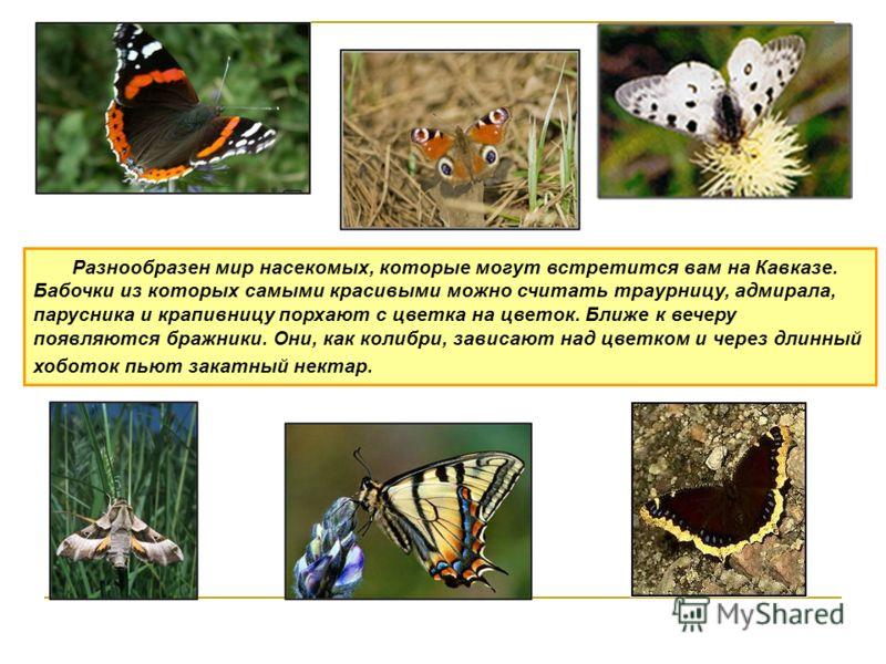 Разнообразен мир насекомых, которые могут встретится вам на Кавказе. Бабочки из которых самыми красивыми можно считать траурницу, адмирала, парусника и крапивницу порхают с цветка на цветок. Ближе к вечеру появляются бражники. Они, как колибри, завис