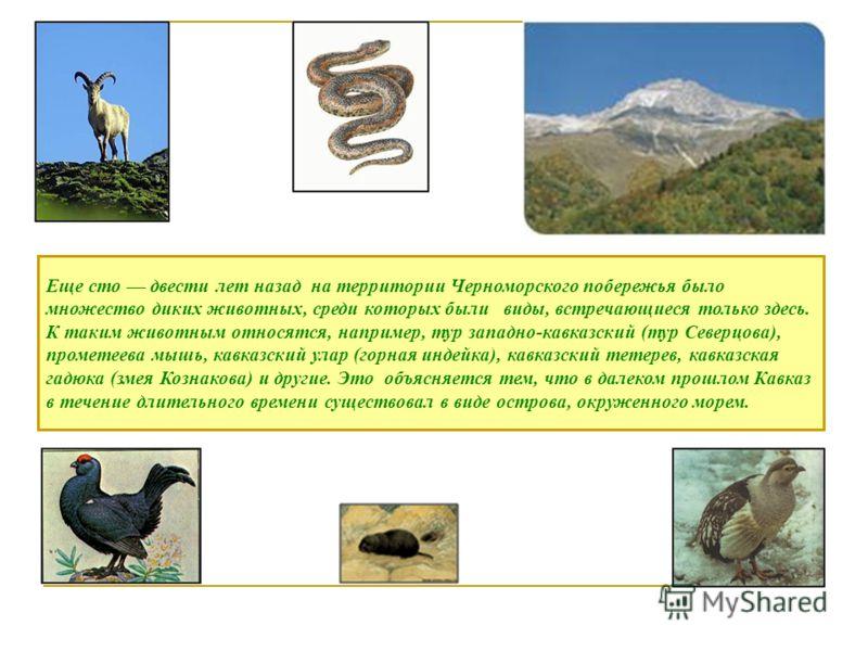 Еще сто двести лет назад на территории Черноморского побережья было множество диких животных, среди которых были виды, встречающиеся только здесь. К таким животным относятся, например, тур западно-кавказский (тур Северцова), прометеева мышь, кавказск