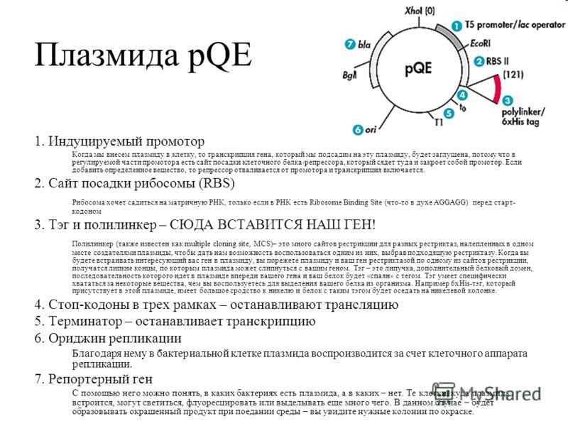 Плазмида pQE 1. Индуцируемый промотор Когда мы внесем плазмиду в клетку, то транскрипция гена, который мы подсадим на эту плазмиду, будет заглушена, потому что в регулируемой части промотора есть сайт посадки клеточного белка-репрессора, который сяде