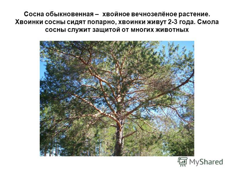 Сосна обыкновенная – хвойное вечнозелёное растение. Хвоинки сосны сидят попарно, хвоинки живут 2-3 года. Смола сосны служит защитой от многих животных