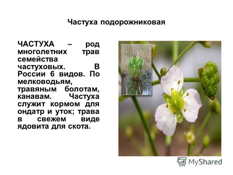 Частуха подорожниковая ЧАСТУХА – род многолетних трав семейства частуховых. В России 6 видов. По мелководьям, травяным болотам, канавам. Частуха служит кормом для ондатр и уток; трава в свежем виде ядовита для скота.