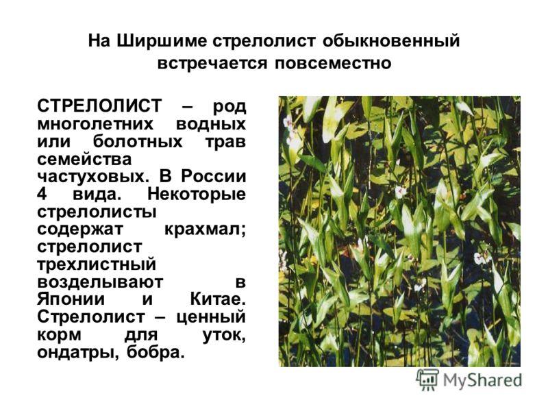На Ширшиме стрелолист обыкновенный встречается повсеместно СТРЕЛОЛИСТ – род многолетних водных или болотных трав семейства частуховых. В России 4 вида. Некоторые стрелолисты содержат крахмал; стрелолист трехлистный возделывают в Японии и Китае. Стрел