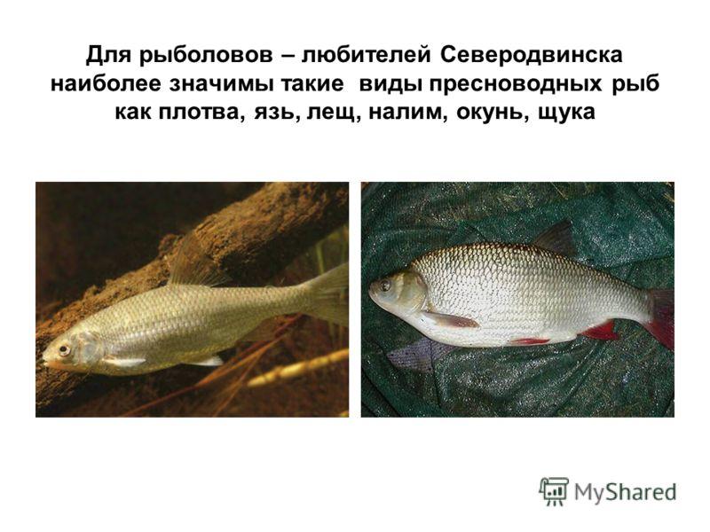 Для рыболовов – любителей Северодвинска наиболее значимы такие виды пресноводных рыб как плотва, язь, лещ, налим, окунь, щука