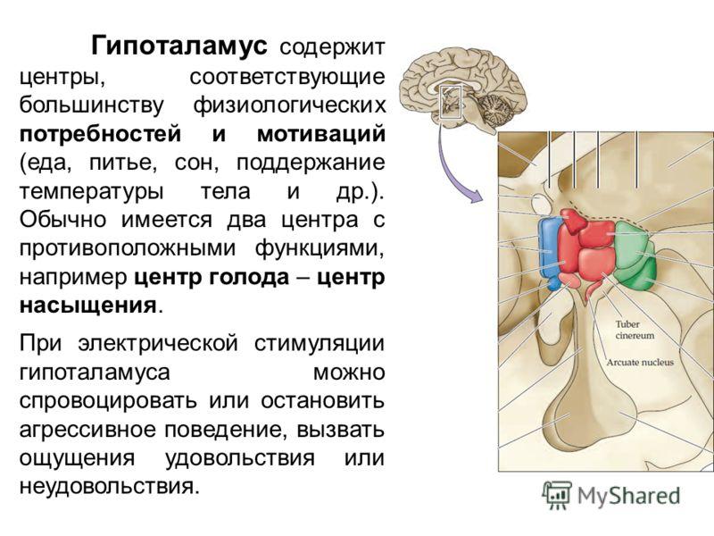 Гипоталамус содержит центры, соответствующие большинству физиологических потребностей и мотиваций (еда, питье, сон, поддержание температуры тела и др.). Обычно имеется два центра с противоположными функциями, например центр голода – центр насыщения.