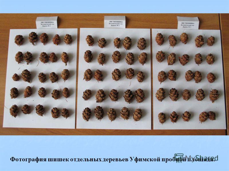 Фотография шишек отдельных деревьев Уфимской пробной площади.