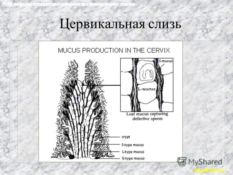 Цервикальная слизь РУДН, кафедра акушерства и гинекологии с курсом перинатологии DeptObGyn
