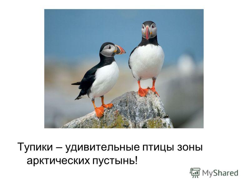 Тупики – удивительные птицы зоны арктических пустынь!