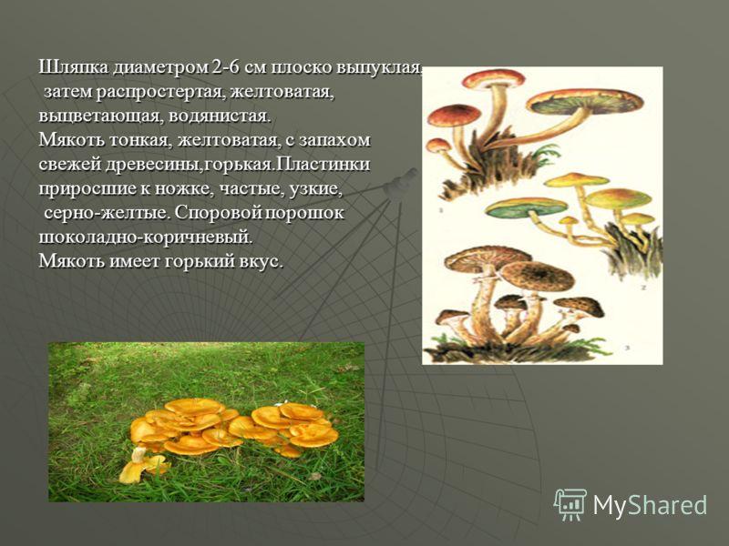 Шляпка диаметром 2-6 см плоско выпуклая, затем распростертая, желтоватая, затем распростертая, желтоватая, выцветающая, водянистая. Мякоть тонкая, желтоватая, с запахом свежей древесины,горькая.Пластинки приросшие к ножке, частые, узкие, серно-желтые
