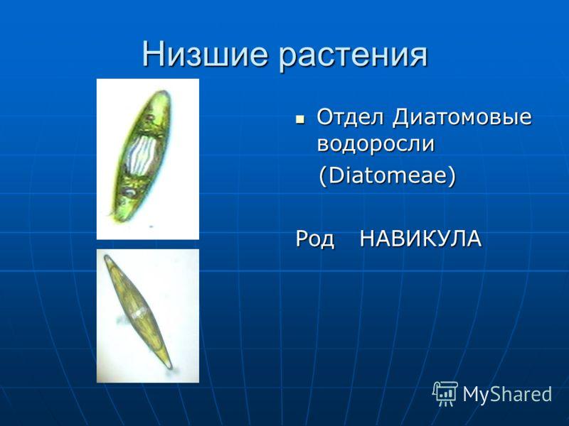 Низшие растения Отдел Диатомовые водоросли Отдел Диатомовые водоросли (Diatomeae) (Diatomeae) Род НАВИКУЛА