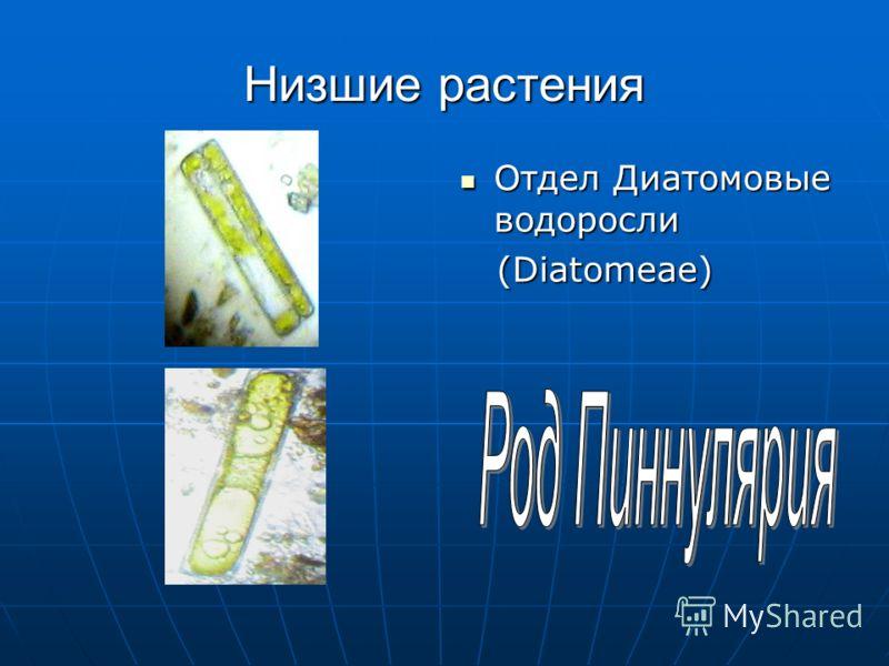 Низшие растения Отдел Диатомовые водоросли Отдел Диатомовые водоросли (Diatomeae) (Diatomeae)