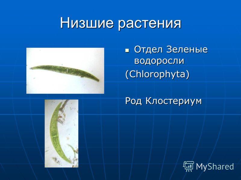 Низшие растения Отдел Зеленые водоросли Отдел Зеленые водоросли (Chlorophyta) Род Клостериум