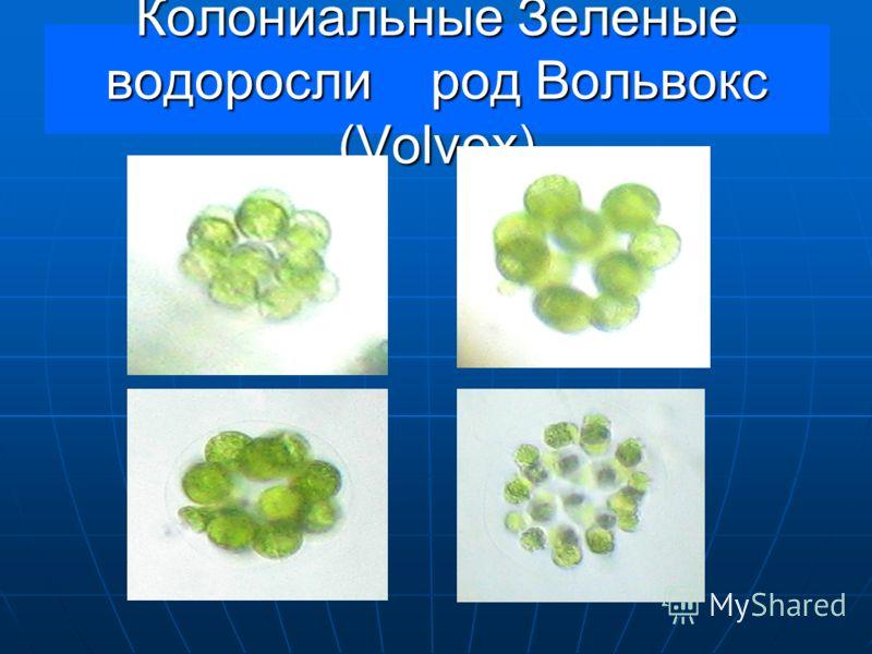 Колониальные Зеленые водоросли род Вольвокс (Volvox)