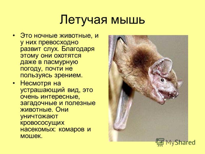 Летучая мышь Это ночные животные, и у них превосходно развит слух. Благодаря этому они охотятся даже в пасмурную погоду, почти не пользуясь зрением. Несмотря на устрашающий вид, это очень интересные, загадочные и полезные животные. Они уничтожают кро