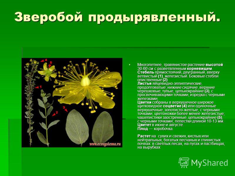 Зверобой продырявленный. Многолетнее, травянистое растение высотой 30-60 см с разветвленным корневищем. Стебель прямостоячий, двугранный, вверху ветвистый (1), железистый. Боковые стебли олиственные (2). Листья яйцевидно-эллиптические, продолговатые;