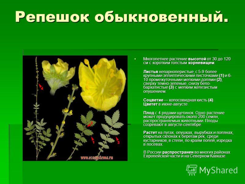 Репешок обыкновенный. Многолетнее растение высотой от 30 до 120 см с коротким толстым корневищем. Многолетнее растение высотой от 30 до 120 см с коротким толстым корневищем. Листья непарноперистые, с 5-9 более крупными эллиптическими листочками (1) и