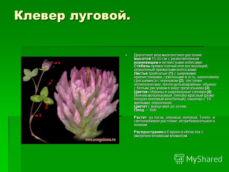 Клевер луговой. Двулетнее или многолетнее растение высотой 15-55 см с разветвленным корневищем и ветвистыми побегами. Стебель прямостоячий или восходящий, опушенный прижатыми волосками. Листья тройчатые (1) с широкими прилистниками, суженными в ость,