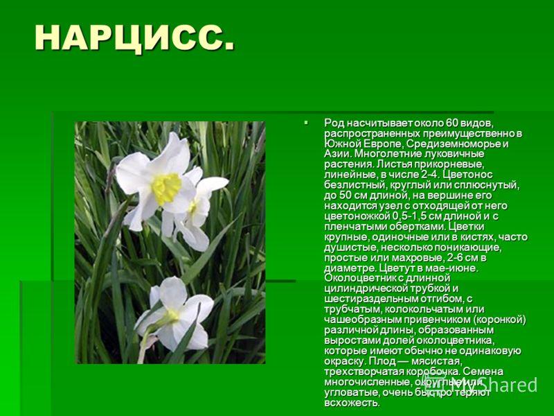НАРЦИСС. Род насчитывает около 60 видов, распространенных преимущественно в Южной Европе, Средиземноморье и Азии. Многолетние луковичные растения. Листья прикорневые, линейные, в числе 2-4. Цветонос безлистный, круглый или сплюснутый, до 50 см длиной