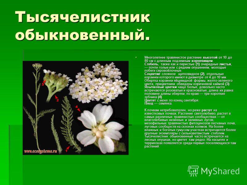 Тысячелистник обыкновенный. Многолетнее травянистое растение высотой от 10 до 80 см с длинным подземным корневищем. Стебель, также как и перистые (1) очередные листья, почти голые или с редким опушением, молодые побеги серовойлочные. Соцветие сложное