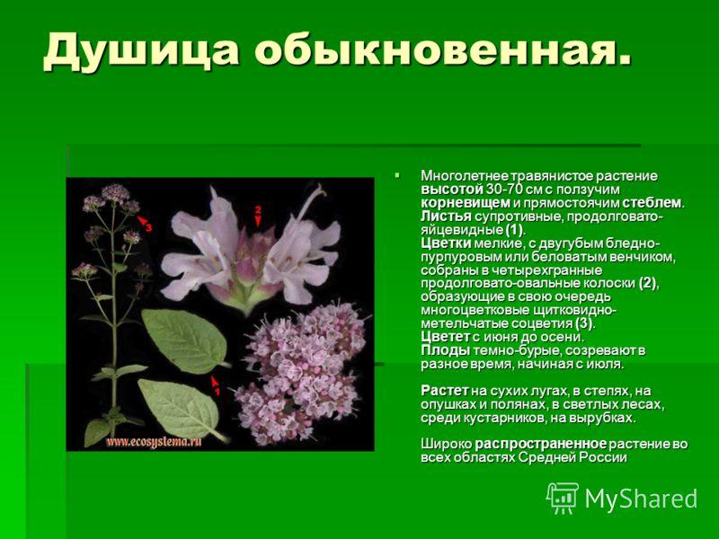 Душица обыкновенная. Многолетнее травянистое растение высотой 30-70 см с ползучим корневищем и прямостоячим стеблем. Листья супротивные, продолговато- яйцевидные (1). Цветки мелкие, с двугубым бледно- пурпуровым или беловатым венчиком, собраны в четы