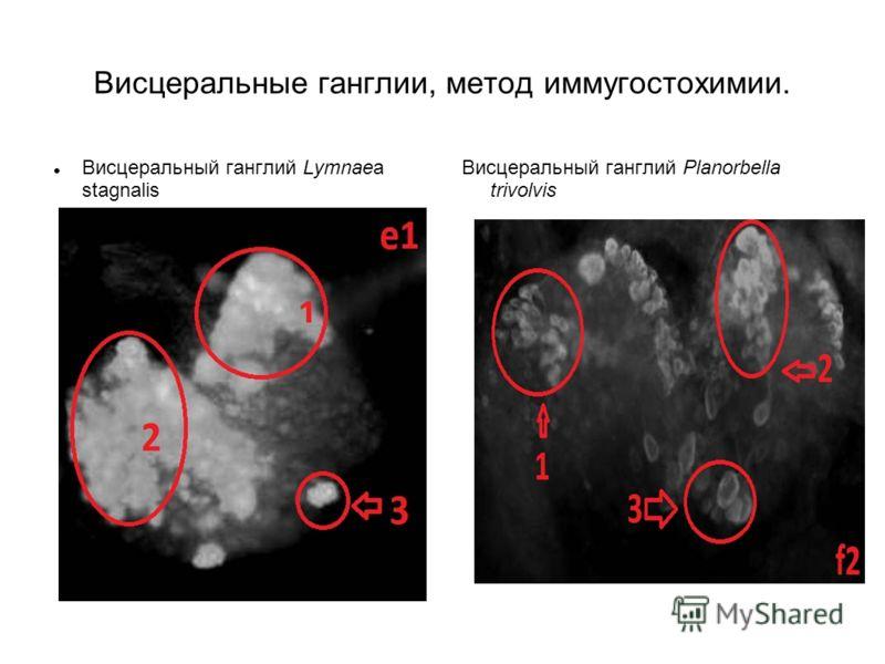 Висцеральные ганглии, метод иммугостохимии. Висцеральный ганглий Lymnaea stagnalis Висцеральный ганглий Planorbella trivolvis