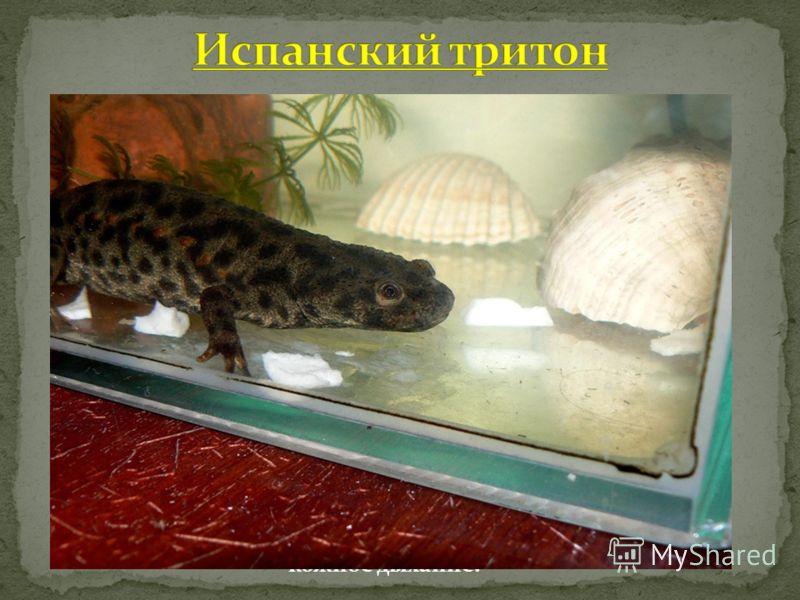 Испанские тритоны (Pleurodeles waltl) очень неприхотливы. Дома их содержать легко, причем можно пытаться