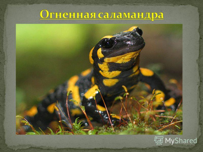 Огненная саламандра или пятнистая, обыкновенная саламандра (лат. Salamandra salamandra) – самое известное животное из рода саламандр (лат. Salamandra) отряда хвостатых земноводных. Именно это животное в силу своей пятнистой окраски и послужило протот